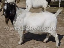 山东肉牛养殖场济宁种羊肉牛波尔山羊养殖基地-利木赞牛、小尾寒羊