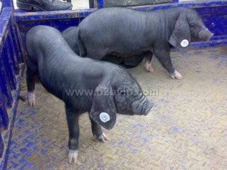 亿达牧业常年销售良种仔猪苗20-90斤.品种齐全