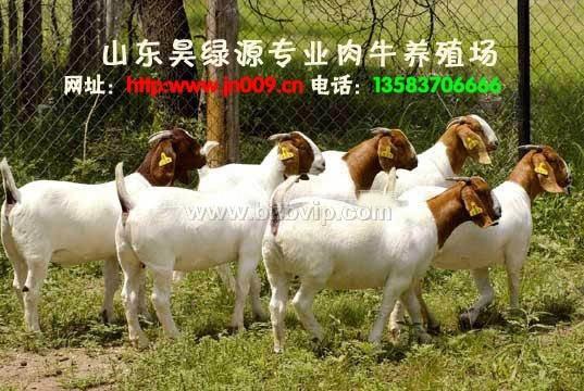 肉羊价格-最新肉羊价格-09年肉羊价格