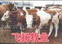 河北肉牛养殖重庆肉牛养殖