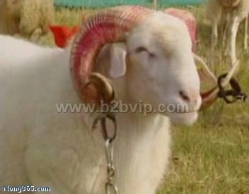 供肉羊羔种羊波尔山羊小尾寒羊