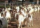 肉牛品种肉牛价格波尔山羊放养