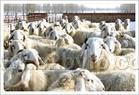 杜泊绵羊小尾寒羊引进改良牛羊良种华强牧业协助