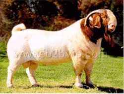 波尔山羊,小尾寒羊,杜泊羊,无角陶赛特羊,萨富克羊,亚洲黄羊