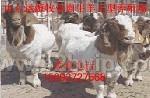 供应改良波尔山羊、小尾寒羊优质牛羊