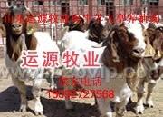 运源牧业供纯种波尔山羊