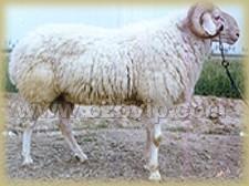 供应小尾寒羊,肉牛,奶牛,奶山羊